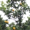 Liliane Roubaudi - Citrus aurantium var. sinensis L. [1753]