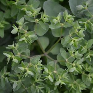 Photographie n°687136 du taxon Euphorbia peplus L. [1753]