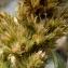 Yoan Martin - Amaranthus retroflexus