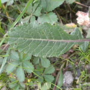 Photographie n°687263 du taxon Erucastrum incanum (L.) W.D.J.Koch [1837]