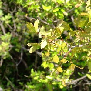 Photographie n°687450 du taxon Acer monspessulanum L. [1753]