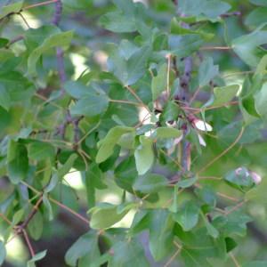 Photographie n°687451 du taxon Acer monspessulanum L. [1753]