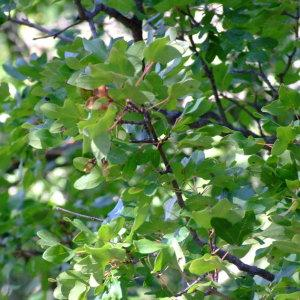 Photographie n°687452 du taxon Acer monspessulanum L. [1753]