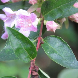 Abelia sp.