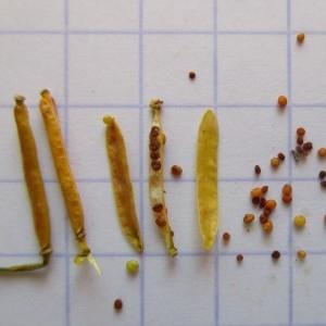 Photographie n°687982 du taxon Rorippa sylvestris (L.) Besser