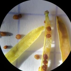 Photographie n°687983 du taxon Rorippa sylvestris (L.) Besser