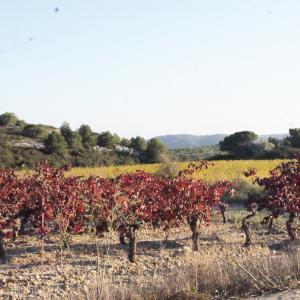 Photographie n°688033 du taxon Vitis vinifera subsp. vinifera
