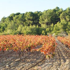 Photographie n°688034 du taxon Vitis vinifera subsp. vinifera