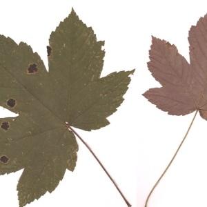 - Acer pseudoplatanus f. purpurascens Pax