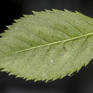 Photographie n°688178 du taxon Rosa canina L. [1753]