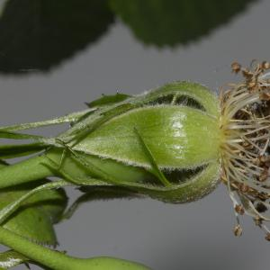 Photographie n°688180 du taxon Rosa canina L. [1753]