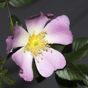 Photographie n°688188 du taxon Rosa canina L. [1753]