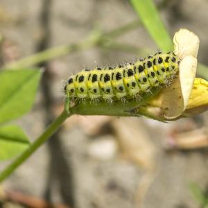 Photographie n°688538 du taxon Lotus maritimus L. [1753]