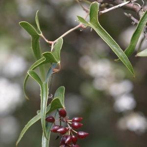 Photographie n°688605 du taxon Smilax aspera L. [1753]