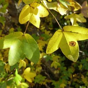 Photographie n°688950 du taxon Acer monspessulanum L. [1753]