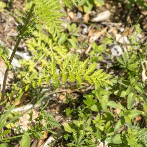 Photographie n°689126 du taxon Tanacetum corymbosum (L.) Sch.Bip. [1844]