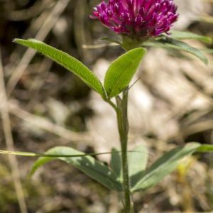 Photographie n°689143 du taxon Trifolium alpestre L. [1763]