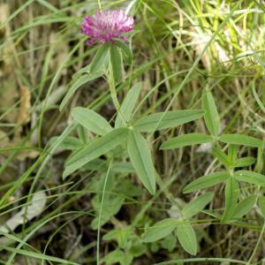 Photographie n°689145 du taxon Trifolium alpestre L. [1763]