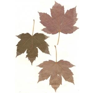 Acer pseudoplatanus f. purpurascens Pax