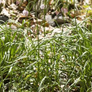 Photographie n°689369 du taxon Allium narcissiflorum Vill. [1779]