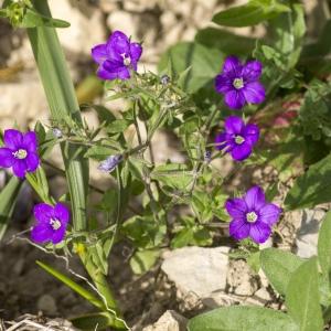 Photographie n°689387 du taxon Legousia speculum-veneris (L.) Chaix