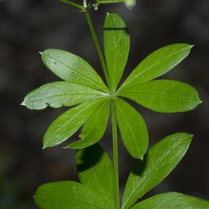 Photographie n°689429 du taxon Galium odoratum (L.) Scop. [1771]