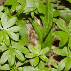 Photographie n°689431 du taxon Galium odoratum (L.) Scop. [1771]