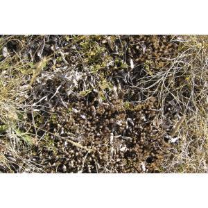 Sedum amplexicaule DC. (Orpin à feuilles embrassantes)
