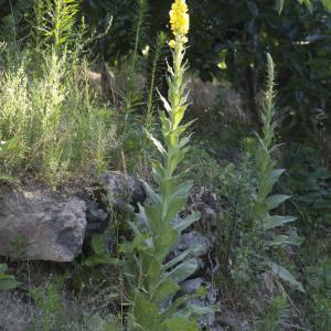 Photographie n°689768 du taxon Verbascum thapsus L.