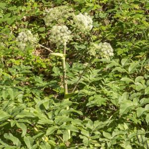 Photographie n°689887 du taxon Angelica sylvestris L. [1753]