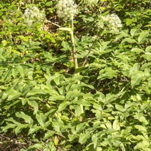Photographie n°689888 du taxon Angelica sylvestris L. [1753]