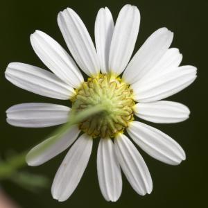 Photographie n°689971 du taxon Tripleurospermum inodorum (L.) Sch.Bip. [1844]