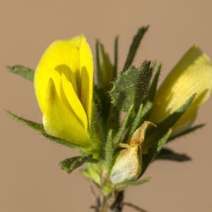 Photographie n°690057 du taxon Ononis striata Gouan [1773]