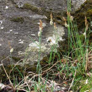 Photographie n°690286 du taxon Carex flacca Schreb. [1771]