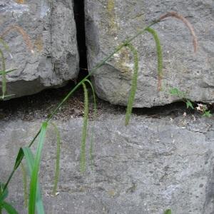 Photographie n°690305 du taxon Carex pendula Huds.