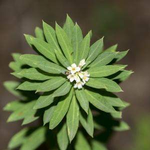 Photographie n°690306 du taxon Daphne gnidium L. [1753]