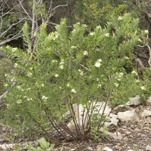 Photographie n°690308 du taxon Daphne gnidium L. [1753]