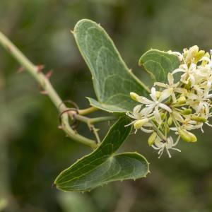 Photographie n°690327 du taxon Smilax aspera L. [1753]