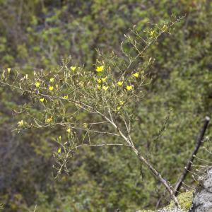 Photographie n°690406 du taxon Chondrilla juncea L. [1753]
