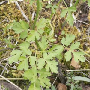 Photographie n°690420 du taxon Xanthoselinum alsaticum (L.) Schur