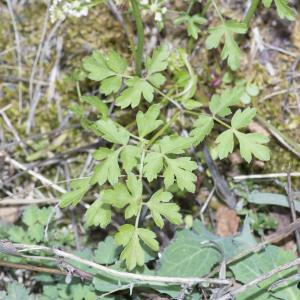 Photographie n°690421 du taxon Xanthoselinum alsaticum (L.) Schur