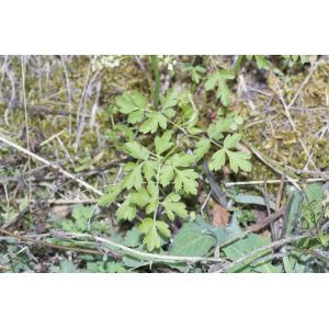Xanthoselinum alsaticum (L.) Schur (Peucédan d'Alsace)