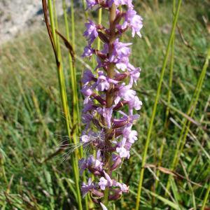 - Gymnadenia conopsea (L.) R.Br.