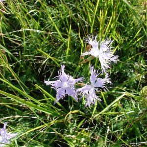 - Dianthus hyssopifolius L. [1755]