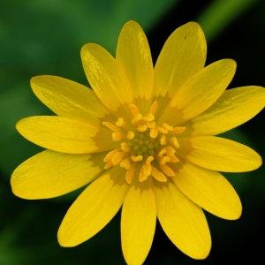 Ranunculus ficaria L. (Ficaire)