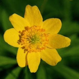 Anemone ranunculoides L. (Anémone fausse renoncule)