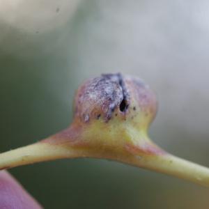Photographie n°691396 du taxon Populus nigra L.