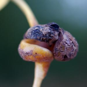 Photographie n°691397 du taxon Populus nigra L.