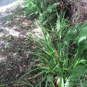 Photographie n°691503 du taxon Carex pendula Huds.