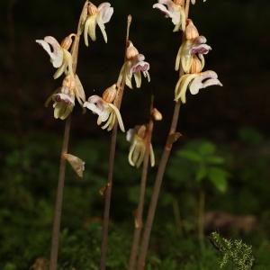 Photographie n°691593 du taxon Epipogium aphyllum Sw. [1814]